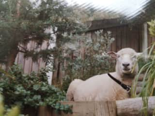 A picture from the past of Gerry our sheep