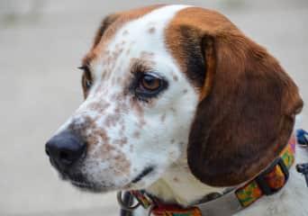 Bailey the beagle mix Rachel has gone on many walks with!