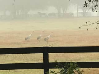 Early Morning Fog with Red Headed Sandhill Cranes