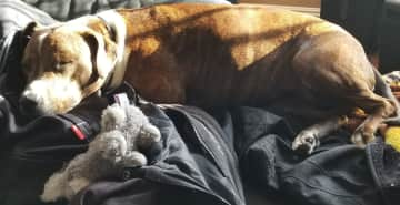 Joy is sleeping in the sunlight, on the couch with her bunny.