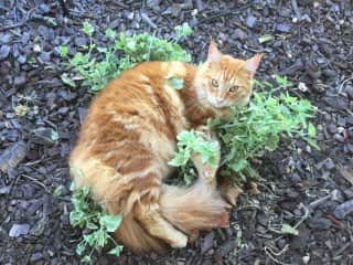 This is Ricky in the catnip plant.