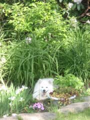 Our family dog, Kymo, in the garden. Kymo is an American Eskimo