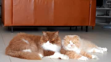 These are 2 brothers of 3 cats in Cambodia / Phnom Penh - 1 Month Housesit in a Luxury Penthouse Apartment