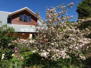 Flowering crabapple tree in garden in spring