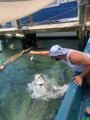 Tarpon feeding in Florida