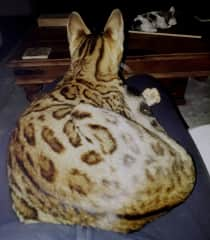 An adorable but nervous bengal we cared for on a housesit who gradually ended up on our laps :-)