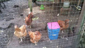 The Chicks - from Bainbridge Island, WA - November 2016