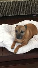This is my beautiful staffy Rex , I had him 15 years , he passed away last year , what a wonderful friend Rex was .