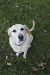 My yellow lab, Lucy.