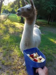 This is Bama the llama. She would warm up to me if I had an apple or banana to offer.