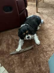 Brandy, King Charles Cavalier - a woman with personality!