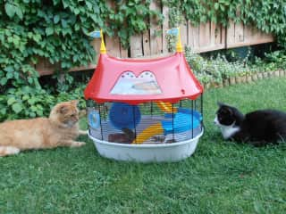 Laszlo's cats meet a mesmerizing hamster