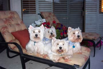 Our Westie family