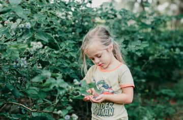 Avery helping to pick blueberries.