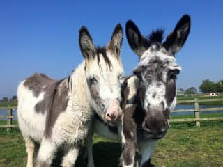 Hazel and Alan our Rescue Donkeys
