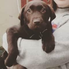 Rodney, my uncle's chocolate Labrador