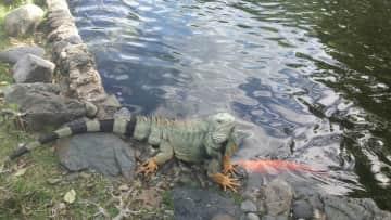 Iguanas, Puerto Rico