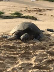 Hookipa turtle
