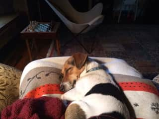 """Ruby, aka """"Rubes"""" and the """"Rubester"""". A miniature Jack Russell Terrier with a gigantic heart. She's a snuggle bug who routinely would find you so she could snuggle in your lap for her 4pm daily nap."""