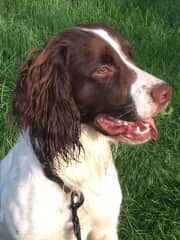 A young Scottish springer spaniel Freddie that had extensive training