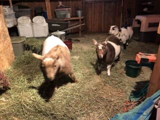 A co-sit with Eoghan for 5 goats, 2 horses, 2 cats, and 12 chickens. We had a fun, adventurous time!