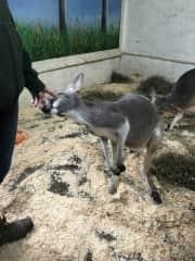 Meeting kangaroos at Animal Adventures, a wonderful wildlife refuge!
