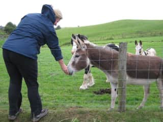 Looking after donkeys in wales