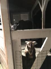 Diva and her Goat companion, Stella, waiting for lunch!