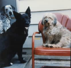 Flakey, my mixed Dalmation & Lab, with his friends, Cocoa and Snoopy.