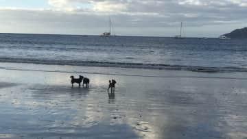 Peanut, Ruby & Mowgli loving the beach in Costa Rica