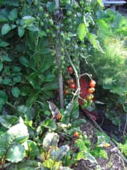 A taste of my vege garden in early summer. Especially love having home grown herbs all year round.