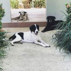 Willy (top), ChaCha (black dog) and Coco - Santa Fe', Panama