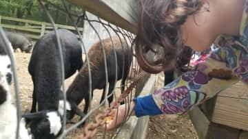 Miriam feeding goats at the Pioneer Days festival.