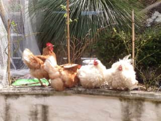 My chickens at home.