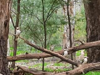 Some of my photography.   Kookaburra family, Moama New South Wales.