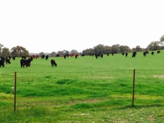 Some of our cattle in better seasonal conditions and what it is normally like.