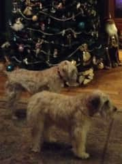 This is Hendrix and Mackenzie, sadly Mackenzie passed away last year. Two lovely Wheatens that I have sat with for the past 5years.