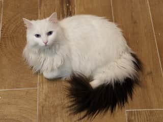 He's very unique! He is all white with a black tail, and has only 3 legs.