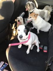 Car trip to the park with our Buddy and Kendra. Airtasker dogs Mojo (pink lead) and Lily (tan face)