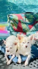 Our Chihuahuas
