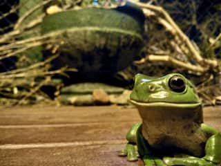 I have a pond on my verandah that green tree frogs regularly spawn in. On any given night I have up to ten frogs on my verandah. I discovered they love Cuban horns and when I play the Buena Vista Social Club? They all chime in and croak along!