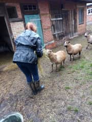 hand feeding the 'very shy anxious sheep' on a farm in Germany