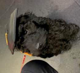 Molly as pup at Puppy School she graduated ha ha