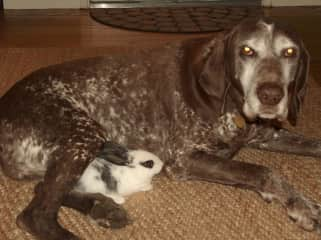 My senior rescue German Shorthair Pointer, Ben. The gentlest soul and so NOT a hunting dog, thank goodness.