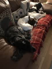 Dogs chilling on sofa, Ekko is the blue roan at the bottom of the picture.  Luna in the middle and Loki at the back.