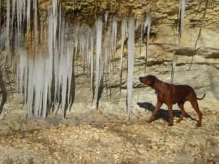 My Rhodesian Ridgeback (Maverick) checking out ice in Texas!!!!!