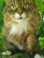 Maine Coon cat we sat for, mini version as they grow very large.  Beautiful calm personality, great as a family pet.