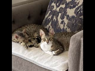 Tigerlily and Jack my Omani foster furbabies. Rescued from the streets of Muscat and given the best start to life.