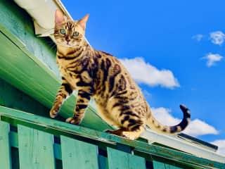 Putin - Our Bengal cat