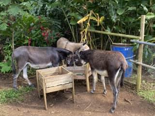 Feeding three spunky donkeys in Martinique